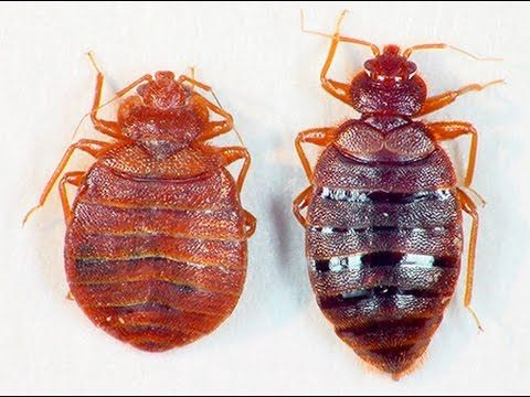 Mata Chinches Con Sal Youtube Bed Bugs Kill Bed Bugs Bed Bugs Infestation