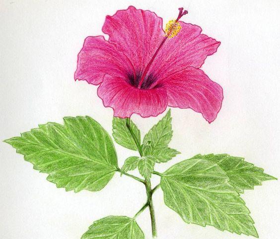 Potloodtekeningen hibiscus and bloemen tekenen on pinterest for Easy flower drawing tutorials
