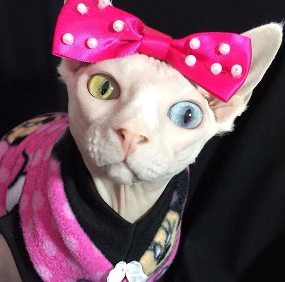 Pinky looking ridiculously cute in her Minnie Mouse fleece from Sphynx Nudie Patootie!