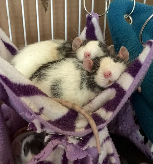 """darlingrats: """" A Lazy Raturday – I got home to find Rosie and Jess asleep in the hammock together. Sweetest snoozing ever. ❤️ """""""