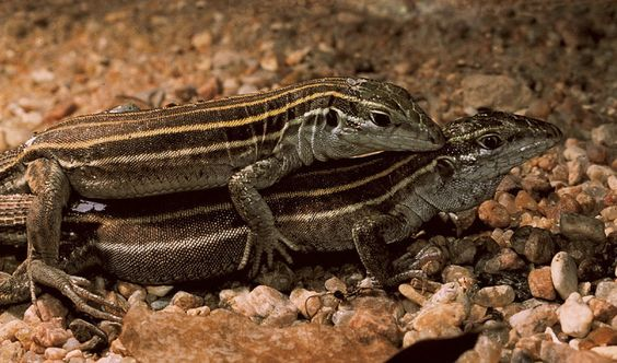 Lesbian Lizards:   Officially named Cnemidophorus uniparens, these American desert lizards reproduce despite the fact that they're all female. Interestingly, some of them simulate sexual acts with each other just like male and female lizards, and it's been discovered that when they do they reproduce more successfully than their abstemious sisters.: