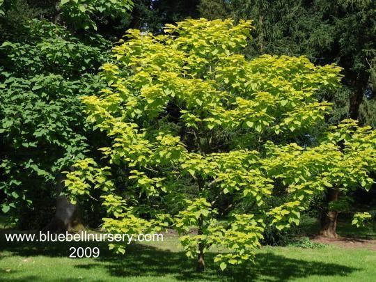 catalpa bignonioides 39 aurea 39 indian bean tree. Black Bedroom Furniture Sets. Home Design Ideas