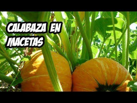 Como Sembrar Calabaza O Zapallo En Maceta Huerto Urbano La Huerta De Cultivo De Calabaza Como Cultivar Calabazas Plantar Calabazas