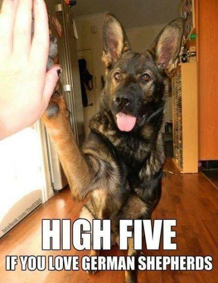Trendy Baby Animals Memes Puppys Ideas German Shepherd Memes Black German Shepherd Dog German Shepherd