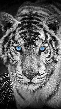 White Tiger Iphone Wallpaper Tiger Wallpaper Animals Animal Wallpaper