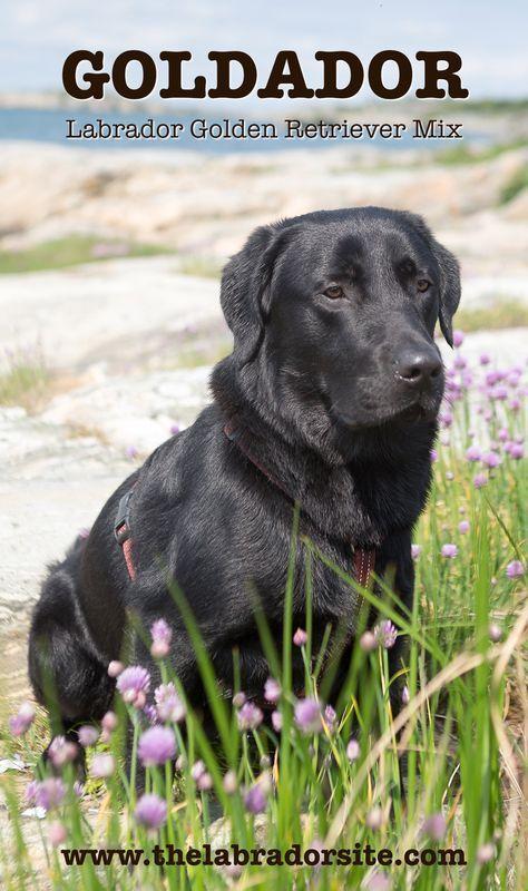 Goldador Labrador Golden Retriever Cross Retriever Hund Hunde