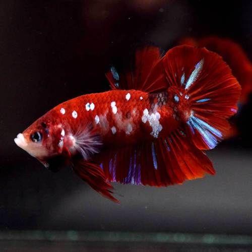 Live Betta Fish Huge Fancy Super Red Koi Galaxy Halfmoon Plakat Hmpk Male 817 Betta Betta Fish Tank Fish