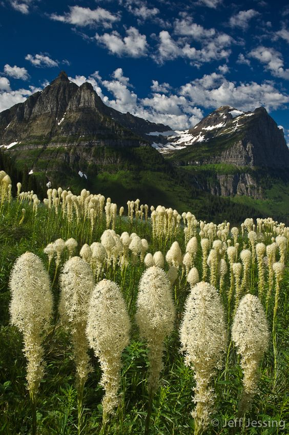 Bear grass (Xerophyllum tenax) with Mt. Oberlin and Clements Mtn. Photo, Jeff Jessing.  It blooms every other year,