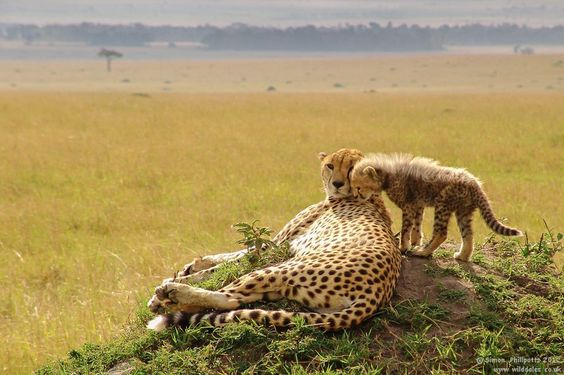 An exhausted mother cheetah lying on her side with her cub walking around her.