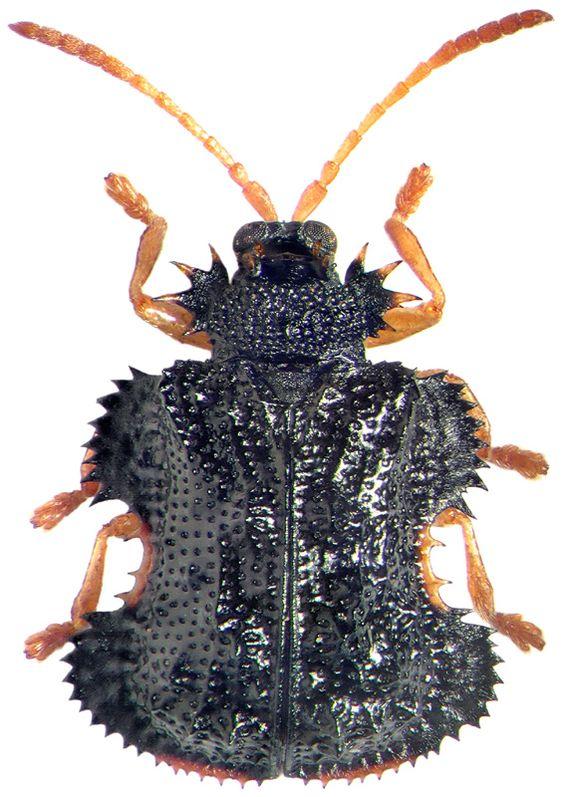 Chrysomelidae: Dactylispa excisa