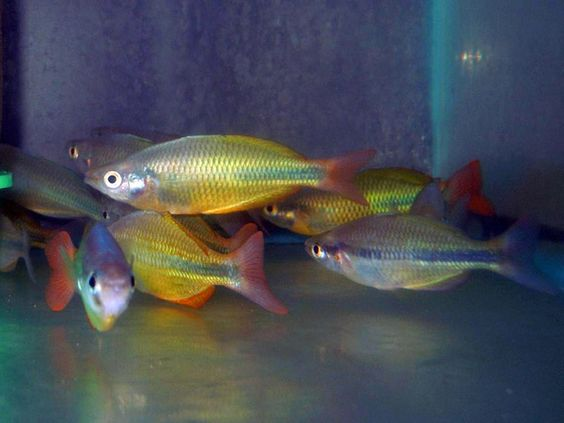 Freshwater tropical fish online yellow rainbow fish for Yellow tropical fish