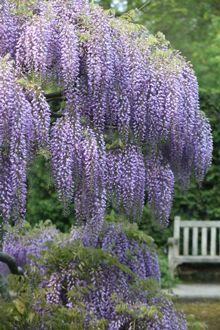 wisteria - so luscious!