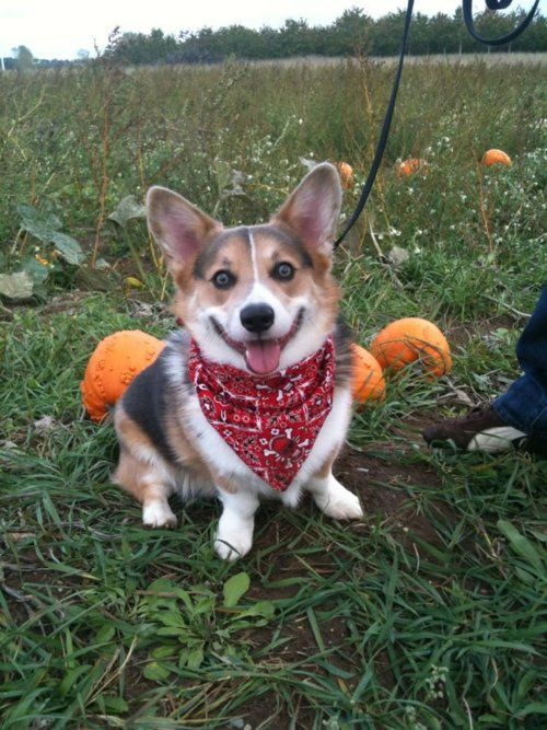 Corgis and pumpkins...my life is complete