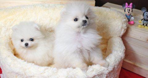 كلاب للبيع في دبي تواصل عبر الواتساب عبر الواتساب 13233645209 كلاب كلب صغير طويل الشعر رائعتين متاحة Pomeranian Puppy Pomeranian Puppy For Sale Yorkie Dogs