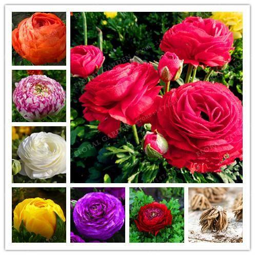 Rare Color Mixing Ranunculus Asiaticus Flower Bulb Persian Buttercup Flower Bulbs Symbolizes Love Flower Garden Buttercup Flower Bulb Flowers Flower Garden