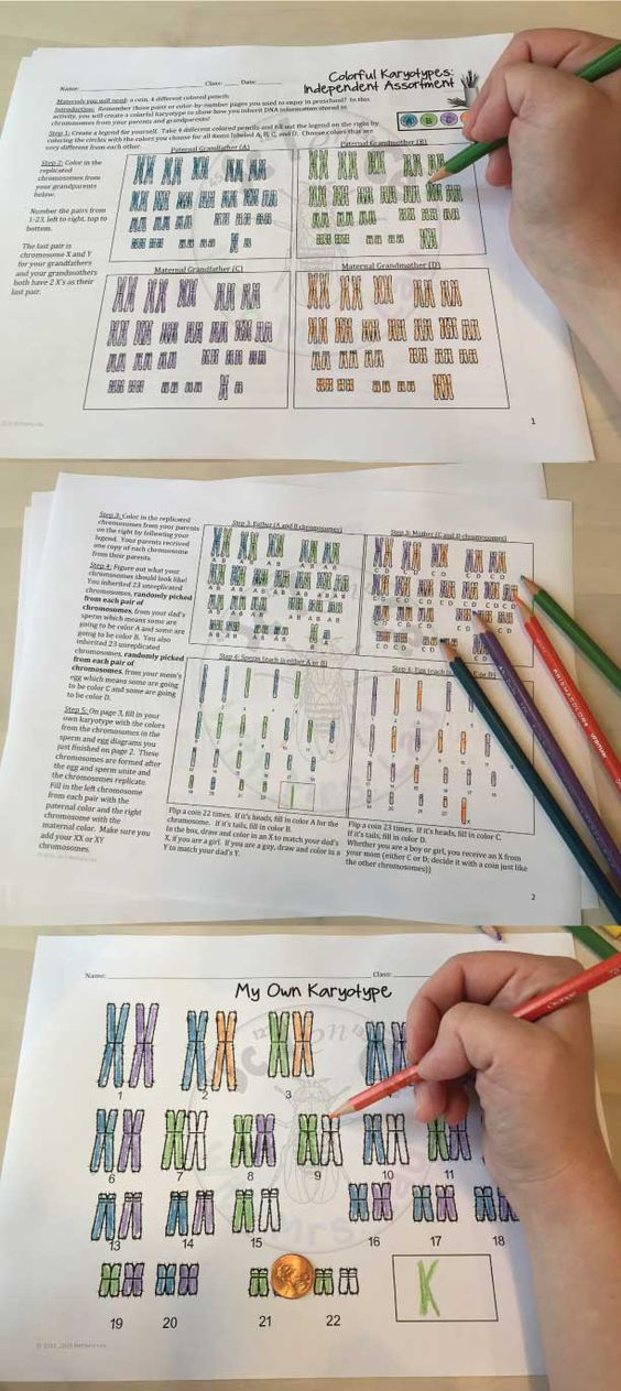 color your own karyotype independent assortment lesson for high school biology activities. Black Bedroom Furniture Sets. Home Design Ideas