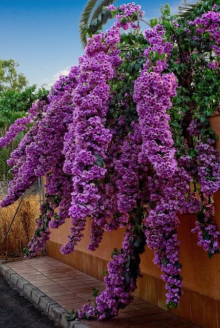 Bugambilias (a.ka. bougainvillea).  Must be grown as an annual in my location, but beautiful!!: