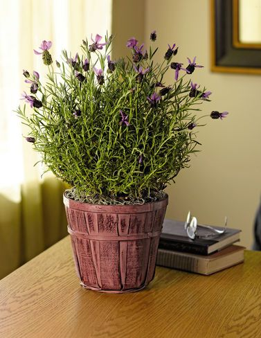 how to grow lavender growing lavender plant care tips garden pinterest beautiful. Black Bedroom Furniture Sets. Home Design Ideas