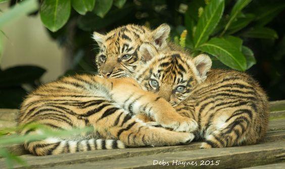 Comfy Cubs | by Debshaynes