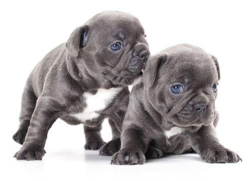 www.petclic.es la mayor tienda online de productos para #mascotas. La mayor biblioteca de contenido y consejos sobre mascotas. 1.000 consejos. 50.000 imagenes. Foto del #perro bulldog frances