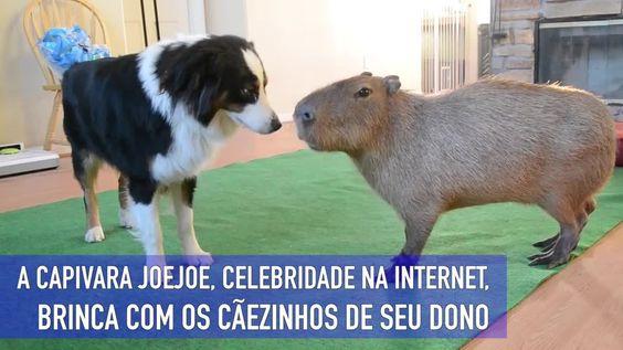 A capivara JoeJoe, celebridade na internet, brinca com os cãeszinhos de seu dono. Os animais interagem e trocam cheiradas e lambidas carinhosas.