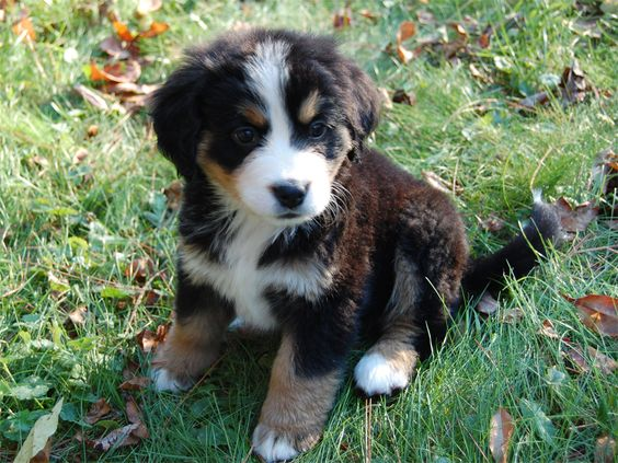 Bernese Mountain Dog, so cute but they do drool alot as they get older