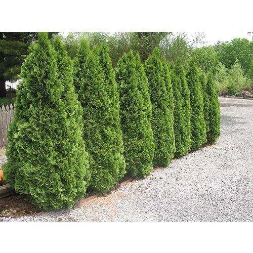 Good privacy hedge lowes gardening and plants for Green bushes for landscaping