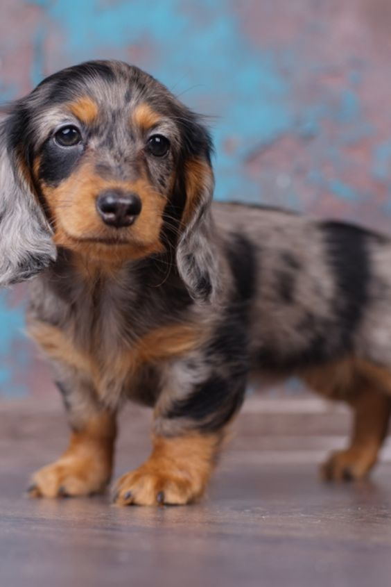 Dachshund Products Apparel And Gifts Dapple Dachshund Puppies