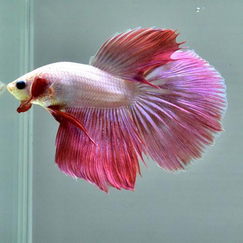 Male Betta 034 Bright Pink Half Moon Bp04 034 Hardly Rare Find From Thailand Betta Betta Fish Pet Fish