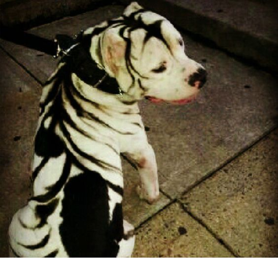Pitbull that looks like a tiger