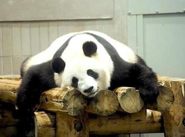 TOKYO : Le zoo de la concorde   Le parc zoologique le plus ancien du Japon se révèle un élément clé de la diplomatie sino-japonaise.