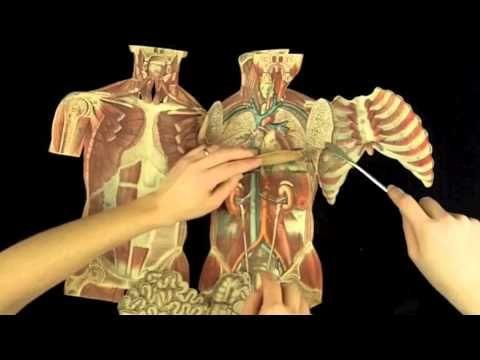Witkowski Human Anatomy And Physiology Torso Massage Therapist
