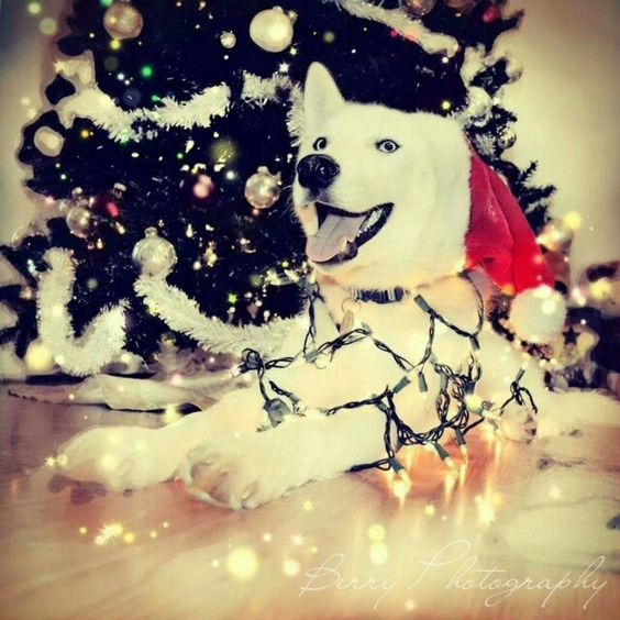 Christmas husky  Christmas card Dog photography  Christmas: