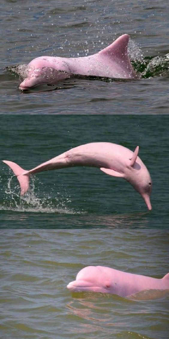 Extremely Rare Pink Dolphin Is Captured On Camera Swimming In A Louisiana Lake (VIDEO) #pink #dolphin #swimming #sea #world #animals #fishingphotographyunderwater