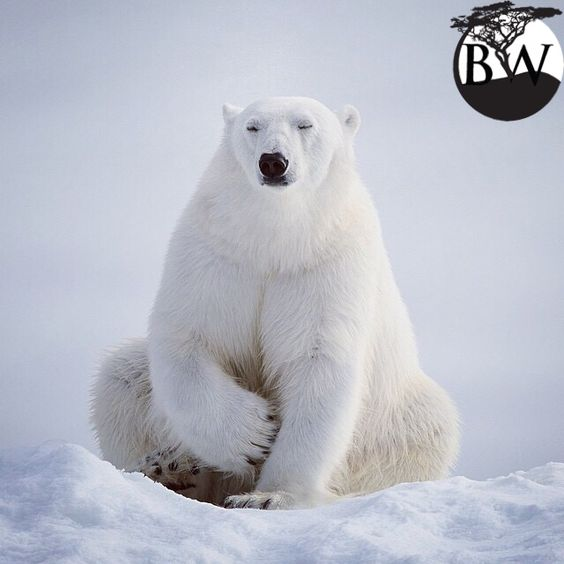 ⭕️VOLUNTEER OF THE DAY⭕️ Elliott Neep  @elliottneep Polar bears live in the Arctic. They prey primarily on ringed seals from a platform of sea ice. Polar bears are currently listed as vulnerable. Climate change, oil exploration, toxic pollution and polar bear hunting are the major threat.Drive less or buy a more fuel-efficient vehicle (or both)Use public transportation, fly, walk, or ride your bike.Use less water. Reduce home power consumption.Support and learn about research on wildlife.