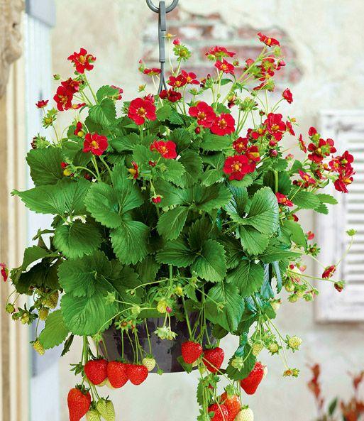 Balkon Erdbeere Ruby Ann 1a Qualitat Baldur Garten Erdbeeren Pflanzen Balkon Erdbeerpflanzen Pflanzen