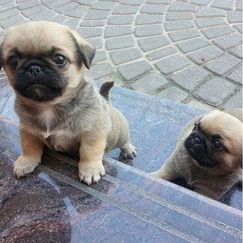 let's all take a moment to appreciate pugs - KIAN