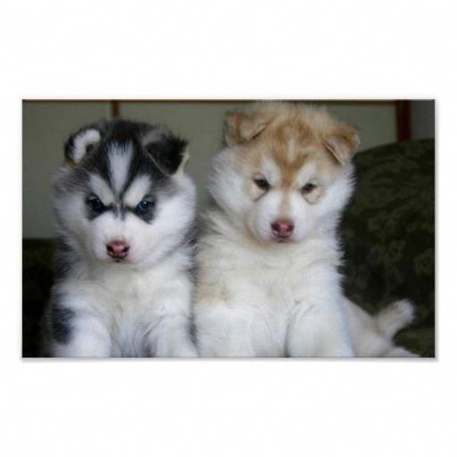 Everything About Intelligent Siberian Huskies Pups Temperament