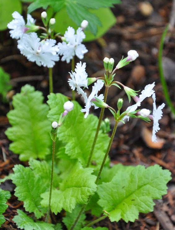 Primula Sieboldii - I love that flower shape!