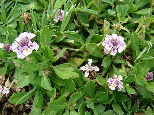 Common Lippia Phyla Nodiflora In 2021 California Plants Ornamental Plants Weeds In Lawn