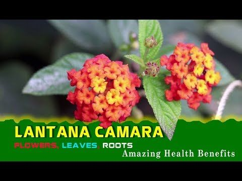 Lantana Camara The Herb S Flowers Leaves And Roots Are All Used To Make Herbal Remedies Youtube Lantana Herbalism Lantana Camara
