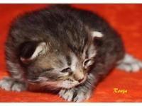 Sibrische Katzenbabys  abzugeben Dithmarschen - Marne Vorschau