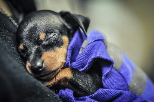 min-pin puppy ... melts my heart b/c my little guy looked like that 8 years ago today!!!  Happy birthday Scrappy Dappy Doo!!!