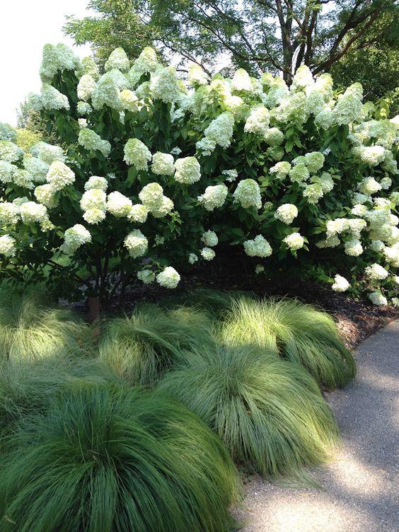 Limelight Hydrangea and Silk Tassels Morrow's Sedge: Silk Tassels, Limelight Hydrangea, Plant Combination, Morrow S Sedge, Ornamental Grasses, White Garden, Silktassels Morrow S, Diaries Quick