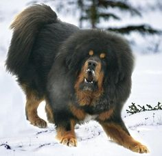 Tibetan dogs are one the big and most famous dog breed in the world. Tibetans