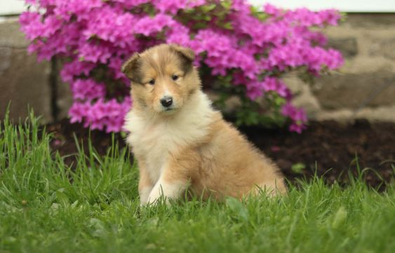 Helena Collie Puppy For Sale In Lancaster Pa Lancaster