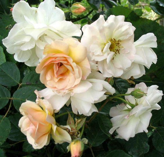 Rose 'Penelope'