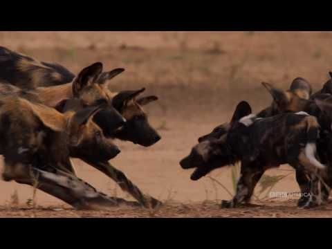 Watch Dynasties Painted Wolves Saturdays At 9pm Bbc America Bbc America Bbc America