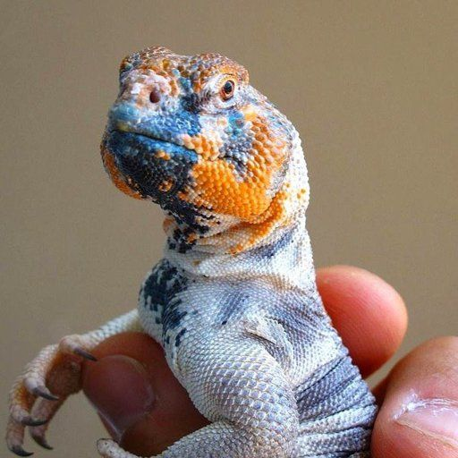 Reptile Education On Instagram Uromastyx Thomasi Is Agamid Lizard From Oman And Masirah Island They Prefe Cute Reptiles Uromastyx Pet Lizards