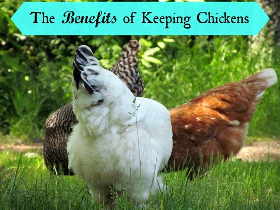 There are so many benefits to keeping a flock of chickens in your yard!